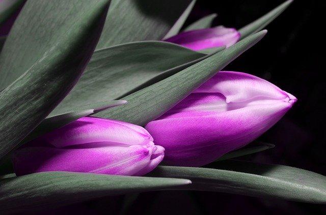 tulipána detail