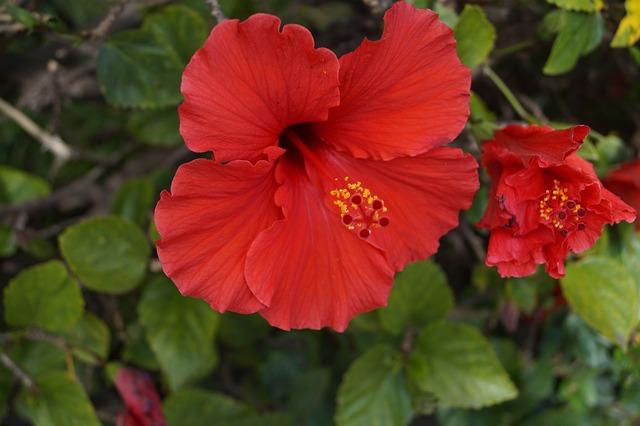 květ červeného ibišku