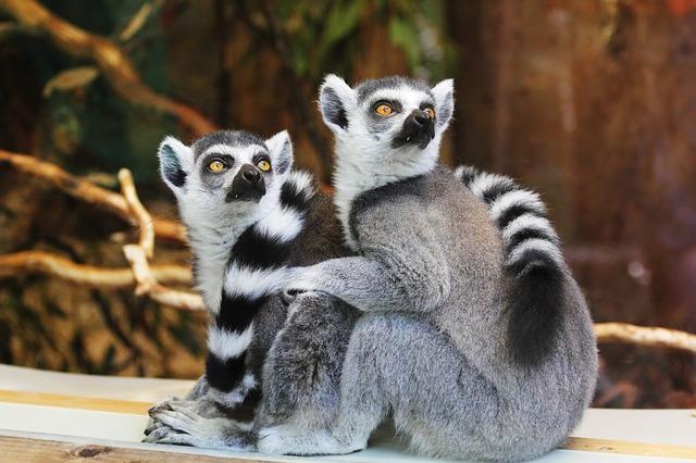 párek lemurů